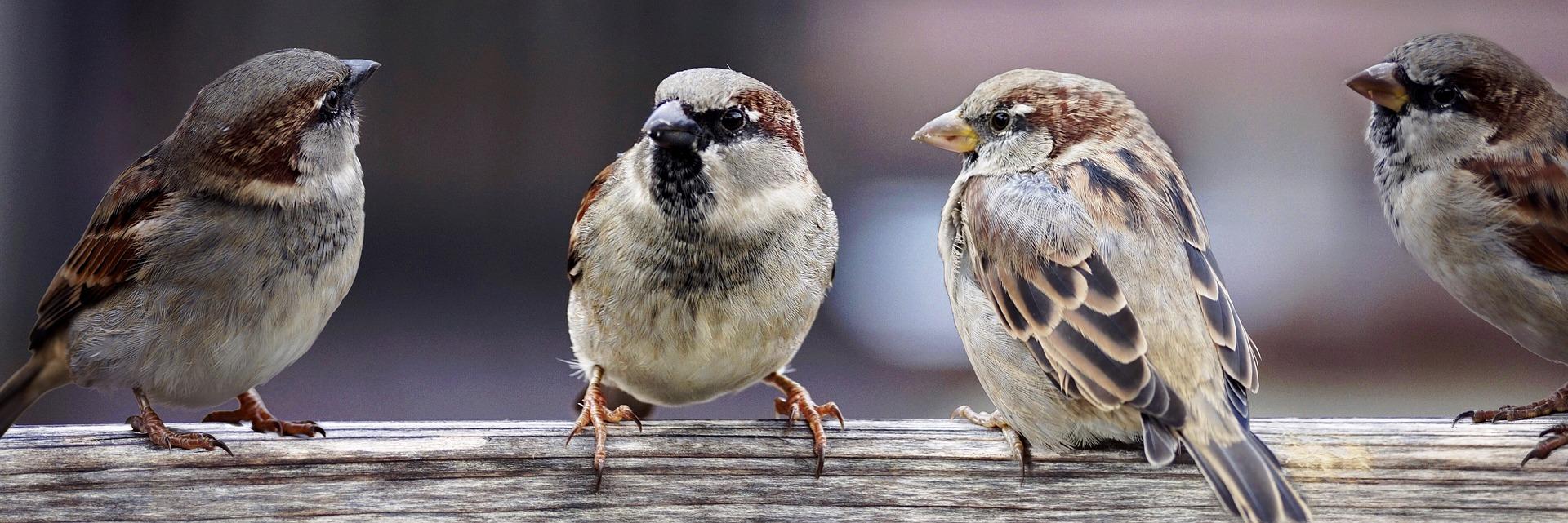 sparrows spring