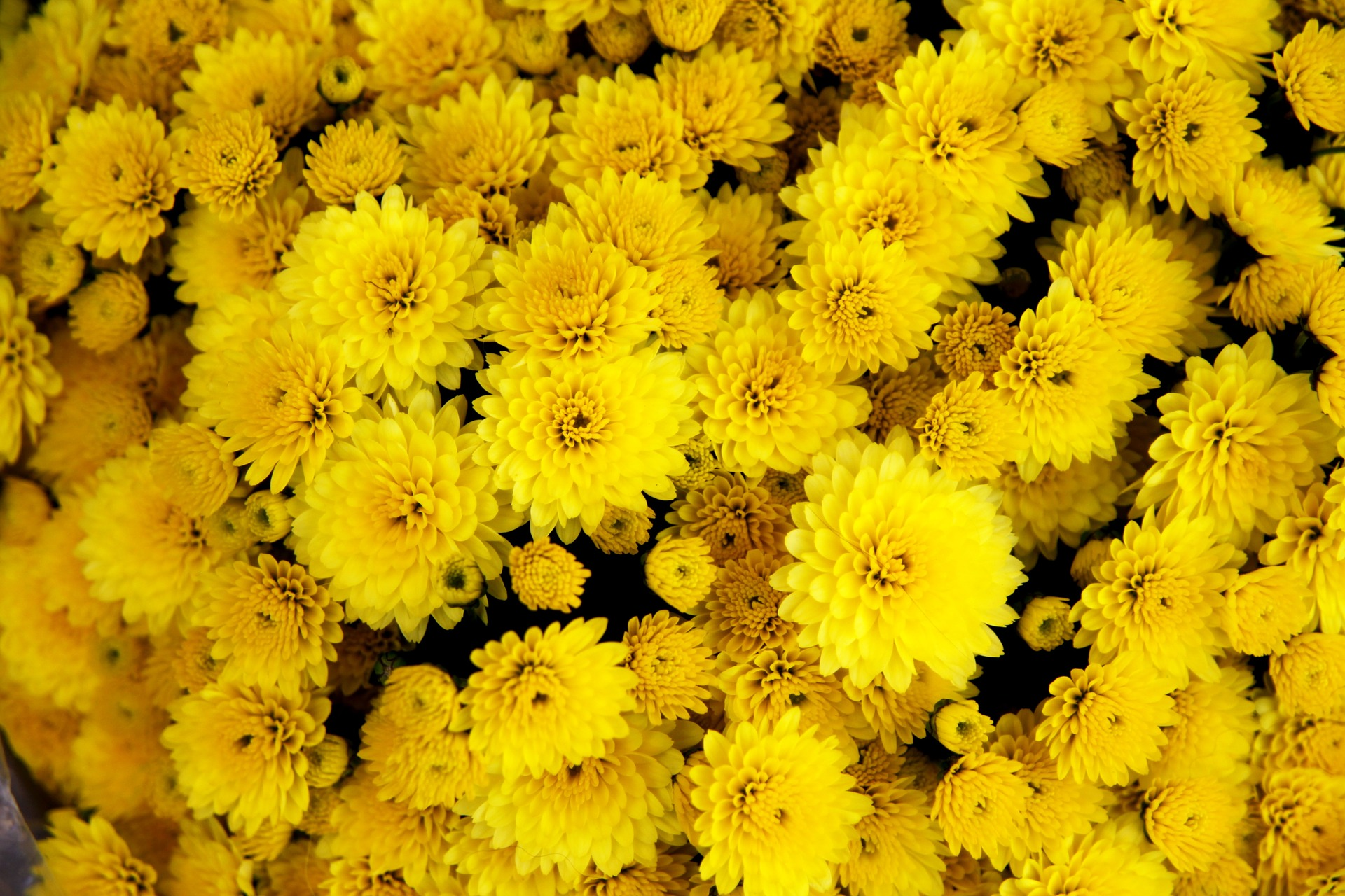 chrysanthemum, ju hua