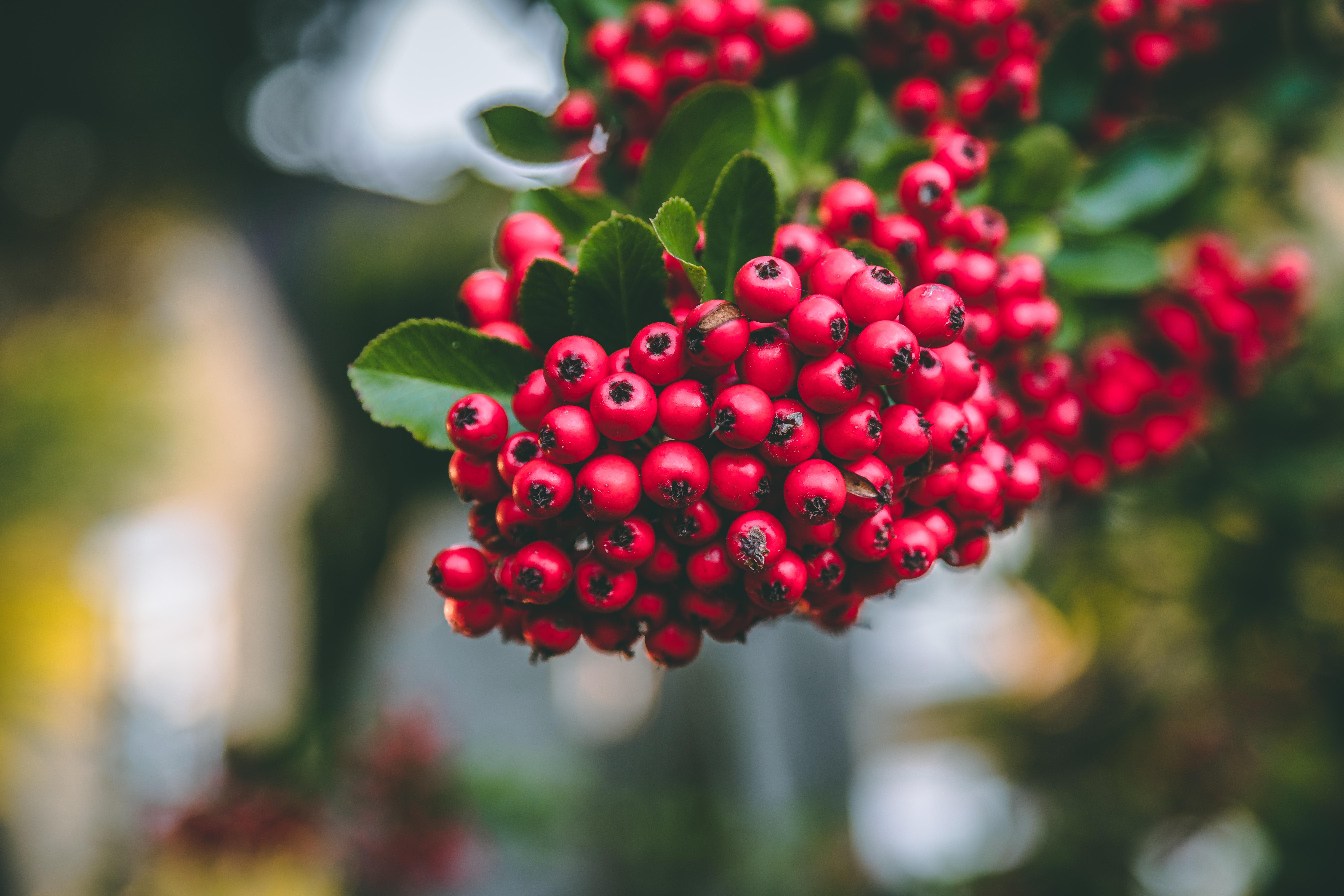 hawthorn, hawthorn fruit, hawthorn berry